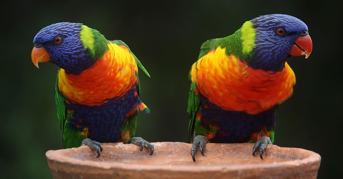 Two Parrots Featured
