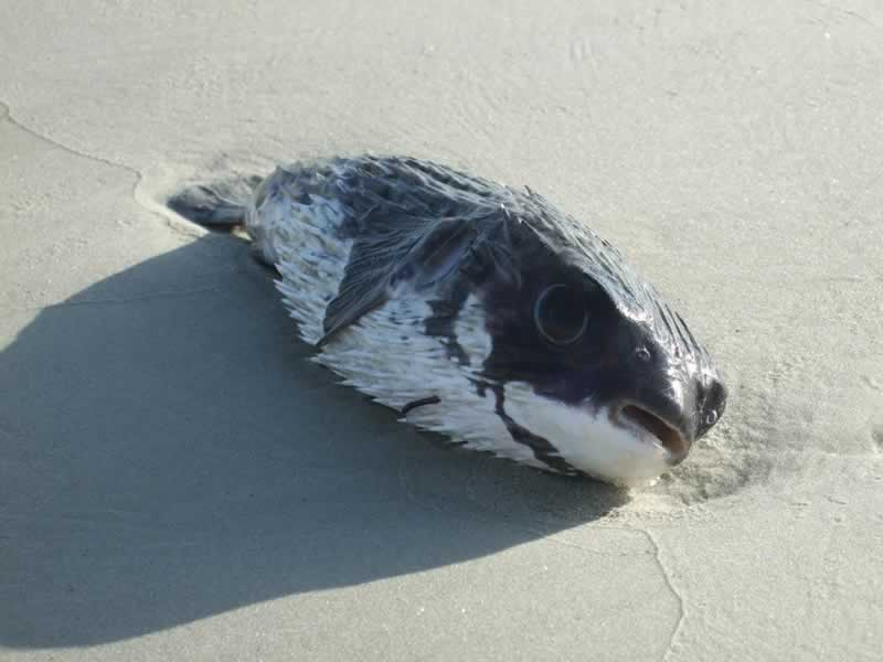 Dead puffer fish washed ashore.