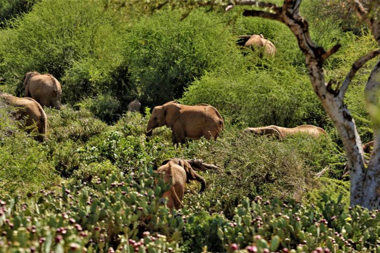 Elephants Kenya Invasive Plants